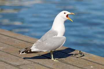 Seagull standing on bridge screaming