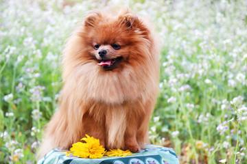 Portrait of cute pomeranian dog. Autumn dog.