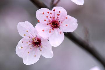 Obraz Kwiat jabłoni - fototapety do salonu