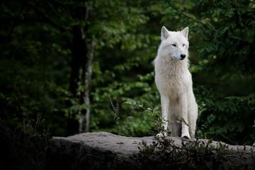 loup blanc arctique animal mammifère