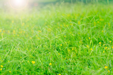 Abstract background of green meadow with yellow flowers and sun light