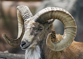 portrait of a mountain goat ram