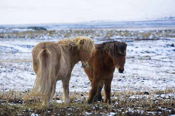 Two Icelandic horses in wintertime