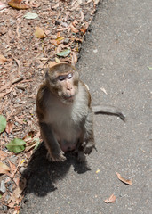 Portrait of asian mature male monkey standing on a roadside