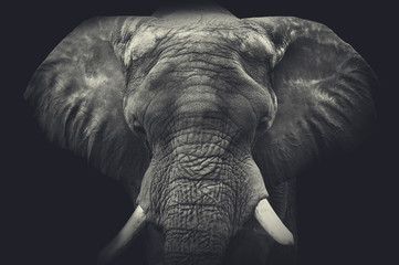 Fotorolgordijn Olifant Elephant close up. Monochrome portrait
