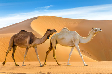 Tuinposter Kameel Camels walking through a desert, taken in the Liwa Oasis, Abu Dhabi area, United Arab Emirates