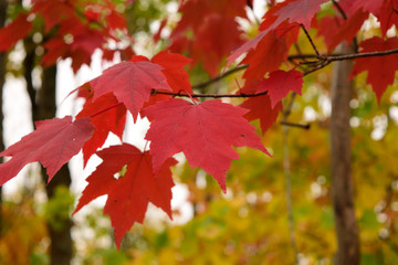 Red Maple (Acer rubrum) Leaves in Fall