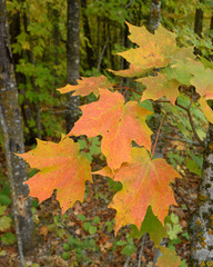 Sugar Maple (Acer saccharum) with Colorful Fall Leaves