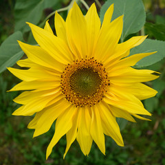 Close Up Detail of Giant Sunflower (Helianthus)