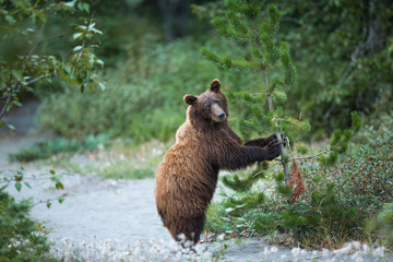 Junger Grizzlybär spielt mit Tannenbaum