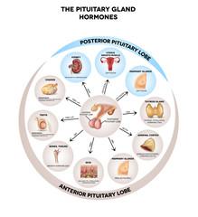 Pituitary gland hormones round diagram