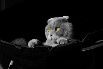 photoshoot scottish fold cat