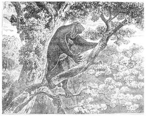 The Galeopithecus, lemurien of the Eocene period, vintage engrav