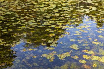 Teich mit Seerosen im Herbst