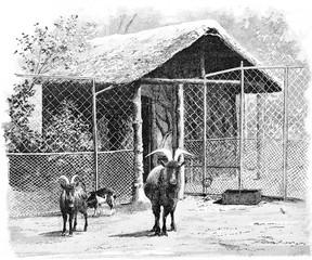 The sheep, vintage engraving.