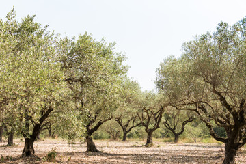 Olive grove in sunny southern Europe