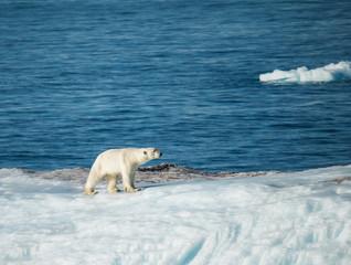 Red de ijsbeer in het noordpoolgebied