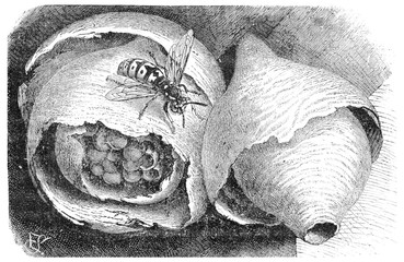 Wasp (paper wasp) and its nest, vintage engraving.