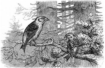 Crossbill pines, vintage engraving.