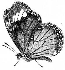 Danaida plexippus, vintage engraving.