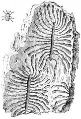 Galleries of bark beetles, vintage engraving.