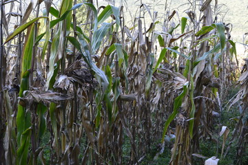 Corn Crop Destroyed By Drought
