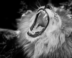 Black and white Portrait of  a roaring lion