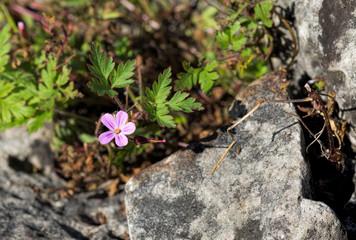 Herb Robert Flower- Geranium robertianum