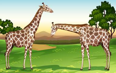 Two giraffes in the field