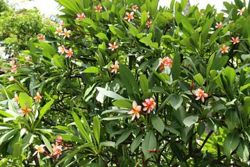 Hawaiian plumeria pink