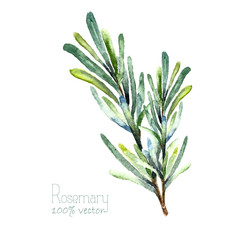 Watercolor vector rosemary