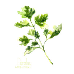 Watercolor branch of parsley.