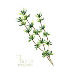 Watercolor thyme.