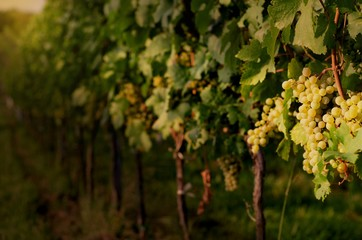 Vineyards at sunset. Ripe white grapes in dramatic light. View of vineyard row with bunches of ripe white wine grapes. Wonderful photo with selective focus and space for text.