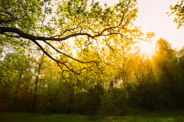 Sunlight Through Green Tree Crown - Low Angle View. Spring Sun S
