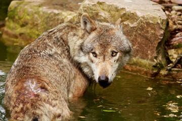 Wolf im Wasser