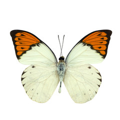 Great Orange Tip butterfly isolated on white