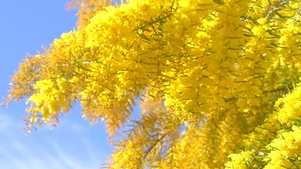 Fotoväggar - Mimosa tree over blue sky. Mimosa spring flowers. Easter