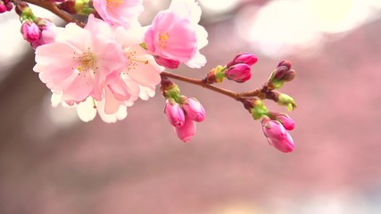 Wall Mural - Sakura spring flowers. Spring blossom background. Beautiful nature scene