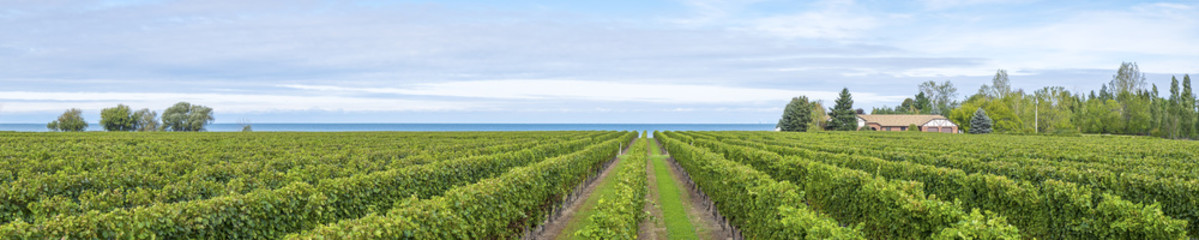 Panorama of a Vineyard by Lake Ontario Fototapete