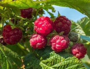 ripe raspberry on a green bush