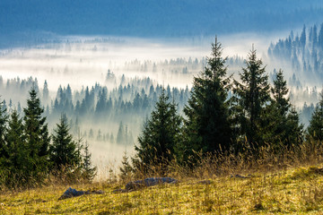 coniferous forest in foggy Romanian mountains