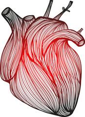 Human heart 1