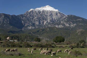 A flock of sheep at the foot of the mountain Tahtali. Turkey.