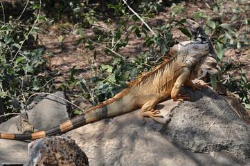 Large green iguana sunning on a rock