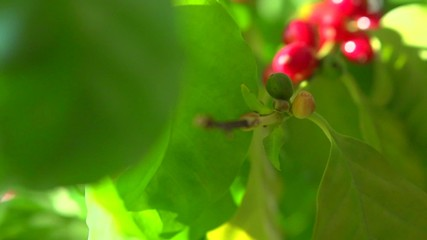 Fototapete - Red coffee beans hanging on a branch of coffee tree