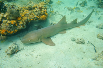 Ginglymostoma cirratum nurse shark underwater