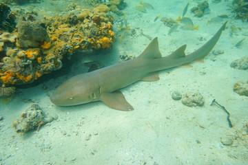 Ginglymostoma cirratum nurse shark underwater