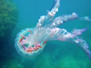 Jellyfish Pelagia noctiluca Mediterranean sea