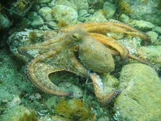 Mediterranean octopus underwater on the seabed